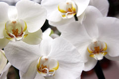 White orchids Royalty Free Stock Images