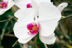 White orchids in buddhist thai temple Stock Images