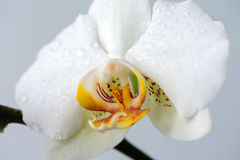 White orchids close up Royalty Free Stock Photography