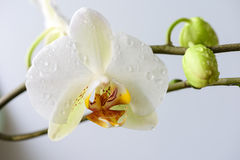 White orchids close up Stock Image