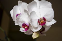 White orchids closeup Royalty Free Stock Image