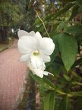 White orchids is considered the queen of flowers in Thailand.  royalty free stock photography