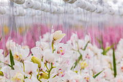 White orchids in a Dutch greenhouse Royalty Free Stock Photos
