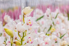 White orchids in a Dutch greenhouse Stock Images