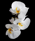White orchids Stock Photos