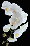 White orchids flowers Royalty Free Stock Photography