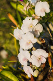 White orchids. Flowers in gardens ,beautiful trees Royalty Free Stock Photo