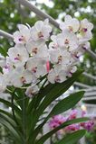 White orchids Royalty Free Stock Photography