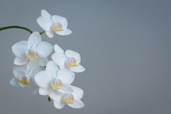 White Orchids with gray background and copy space. Branch of white orchids on grey background with copy space to the right Royalty Free Stock Images