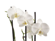 The white orchids Stock Photo