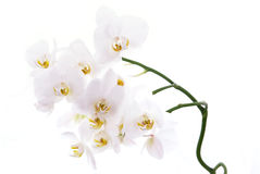 White orchids isolated on white. White orchids isolated on white Royalty Free Stock Images
