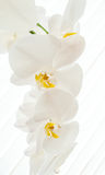 White orchids on light background. Close-up of white orchids on light background. white spring orchid flower Royalty Free Stock Images