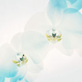 White orchids on light blue background. Close-up of white orchids on light background. white spring orchid flower Stock Photos