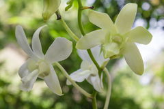 White orchids in nature Royalty Free Stock Photography