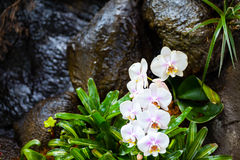 White Orchids over waterfall Stock Photo