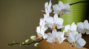 White orchids. White phalaenopsis orchids with dark green background and light green vase Stock Images