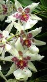 white orchids with pink Stock Photography