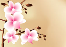 White orchids with pink spots, flowers and buds Royalty Free Stock Photography