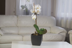 White orchids in a pot at interior. White orchids in a pot on the table at interior Royalty Free Stock Photo