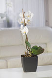 White orchids in a pot at interior. White orchids in a pot on the table an interior Stock Images