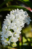White orchids Rhynchostylis. White orchids (Rhynchostylis) from Thailand Royalty Free Stock Photos