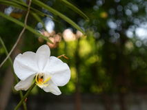 White orchids with romantic background Royalty Free Stock Images