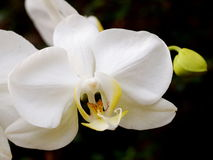 White orchids with romantic background Stock Photos