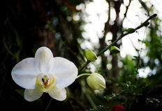 White orchids with romantic background Stock Image