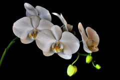 White Orchids. Orchids are some of the most commonly grown houseplants. With proper growing conditions, it isn`t difficult to take care of orchid plants stock photos