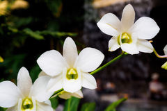 White orchids on stalk Stock Images