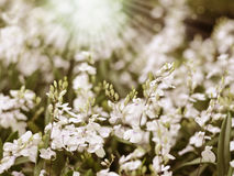 White orchids with sun rays , shallow depth o Royalty Free Stock Photo