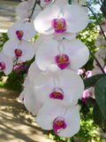 White orchids /Tropical orchids Royalty Free Stock Photo