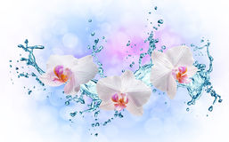 White orchids on the water splash Stock Photos