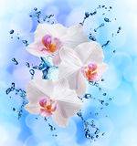 White orchids on the water splash Stock Images