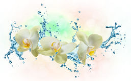 White orchids on the water splash Royalty Free Stock Images