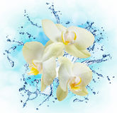 White orchids on the water splash Royalty Free Stock Image