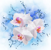 White orchids on the water splash Royalty Free Stock Photos