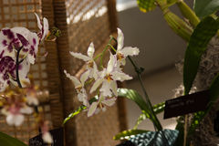 White orchids with wavy petals and purple border Royalty Free Stock Photo