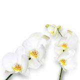 White orchids  on white background Royalty Free Stock Photo