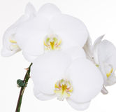 White Orchids On White Background Stock Images