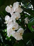 White orchids with yellow center Royalty Free Stock Photography