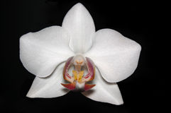 White orhcid. Close up of white orchid Stock Photos