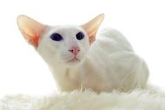 Free White Oriental Cat Stock Photos - 23519513