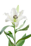 White oriental lily, isolated on white. Close up of white oriental lily flower, stem and leaves, isolated on white background Royalty Free Stock Photography