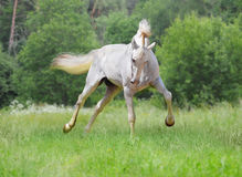 White orlov trotter Stock Images