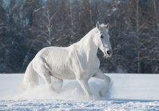 White orlov trotter Stock Photography