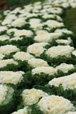 White ornamental cabbage Royalty Free Stock Photography
