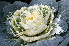 White  ornamental cabbage Royalty Free Stock Image