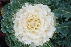 White Ornamental cabbage decorative plant. Top view. Decorative garden plant. Royalty Free Stock Photos