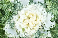White ornamental cabbage is a garden decoration. Stock Photography